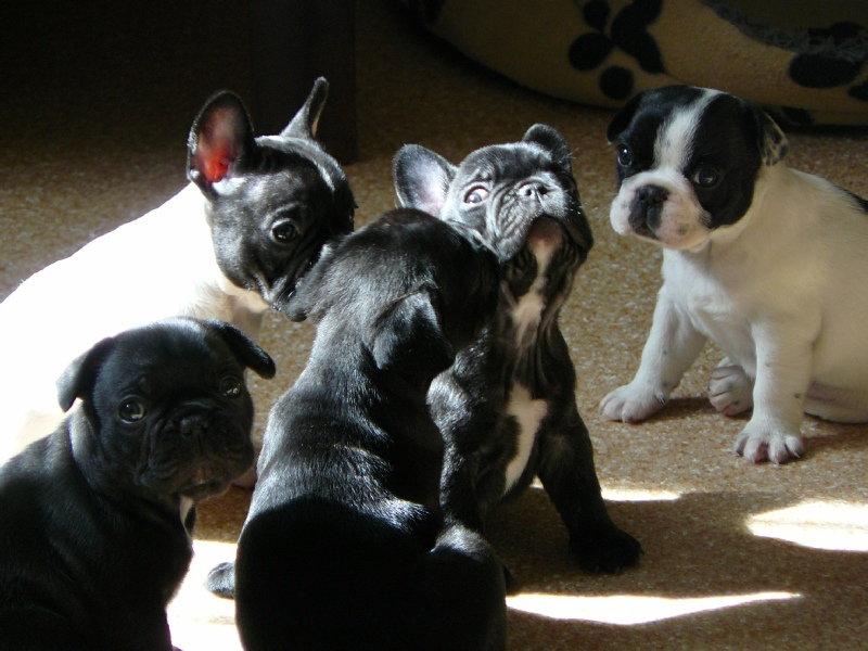 Health Issues In French Bulldogs