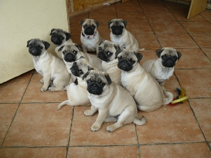 Pugs in the Pete Tong Kennel