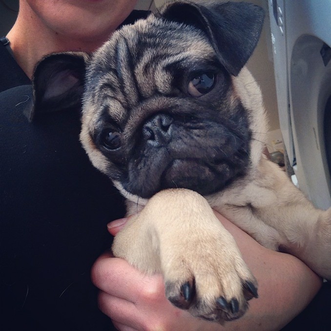 Pete Tong Kennel pug puppies